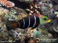 Wrasse at Heart Reef - Australian Landmarks - M